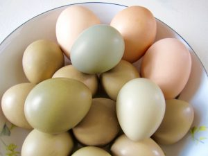 Pheasant eggs are smaller than duck eggs, and because they have a higher yolk-to-white ratio, have a slightly richer flavor.