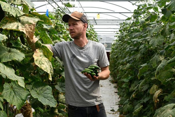 Aaron Silverblatt-Buser in his greenhouse.Avocado and red chile at Silver Leaf Farms. (Dean Hanson/Journal)
