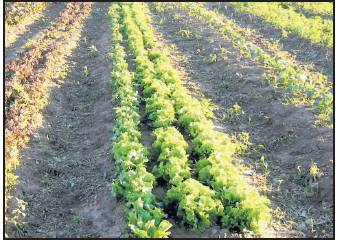 Lettuce at Richard Belanger's Ganados del Valle Farm in Los Ojos was snapped right up for the Farm to Cafeteria program. COURTESY OF RICHARD BELANGER