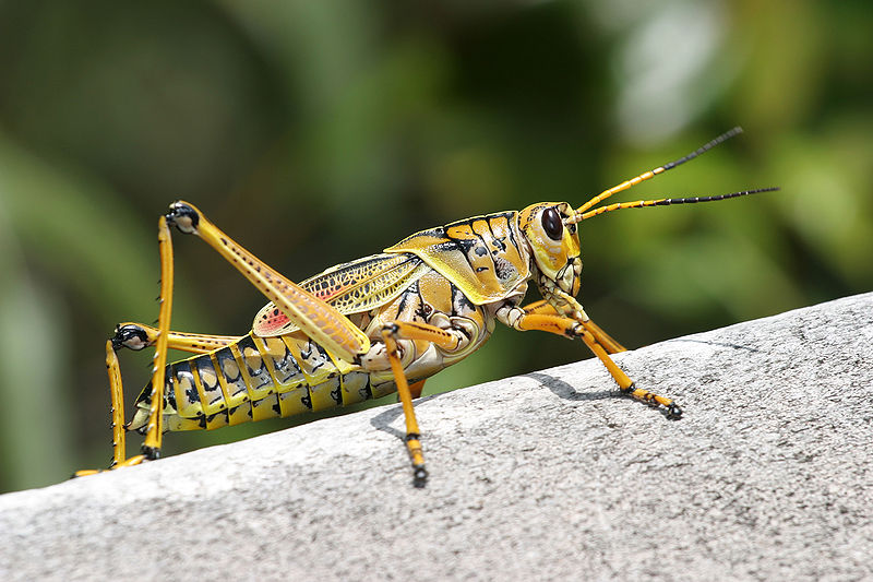 Things to Know about Central New Mexico's Grasshopper Invasion
